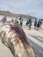 Ikan Raksasa Terdampar di Pesisir Langgudu