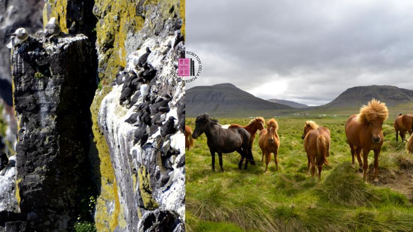 La scogliera di Latrabjarg e l'anello delle saghe: uccelli e cavalli