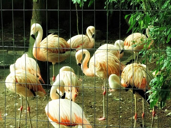 Flamingos reunidos em um cercado