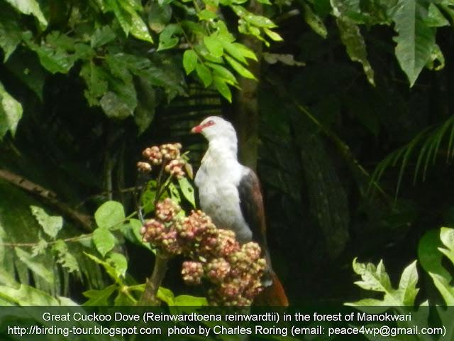 Birdwatching in Manokwari