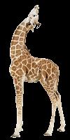 Girafa olhando pro céu