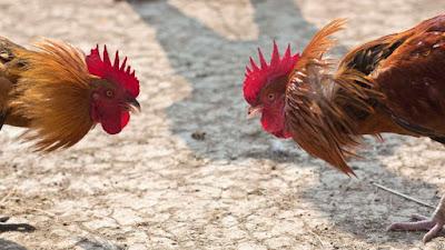 Judi Sabung Ayam di Kamboja