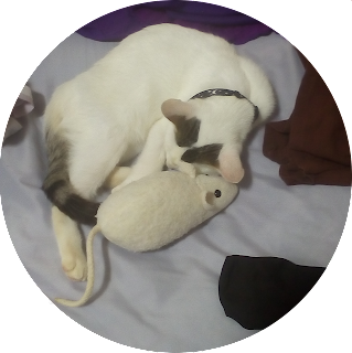 A circulare photo of a white kitten, about 12 weeks old, with dark brown to black marks on the head and tail.  The kitten is sleeping curled up with a plushie white fuzzy rat nearly half the kittens size.