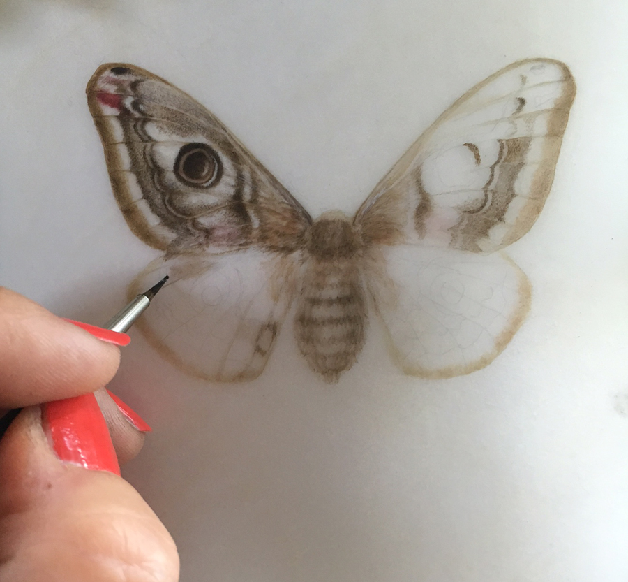 Emperor moth on transparent vellum