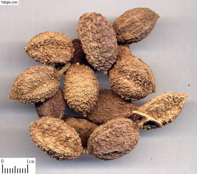 Quả Sa nhân - Amomum xanthioides - Nguyên liệu làm thuốc Chữa Bệnh Tiêu Hóa