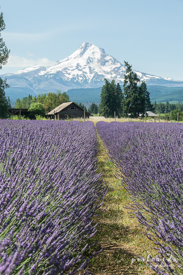 Hood River Valley lavender fields