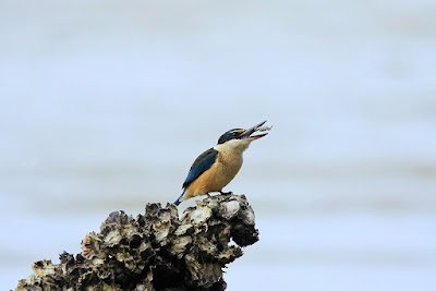 New Zealand Kingfisher