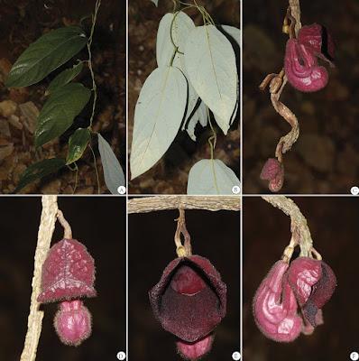Tình yêu cây cỏ ĐV2 - Page 15 Aristolochia_sinoburmanica-novataxa_2018-Y.H.Tan_et_%2BB.Yang