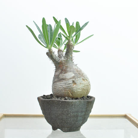 棒槌樹屬(Pachypodium)種植日記 - 2018/1/29