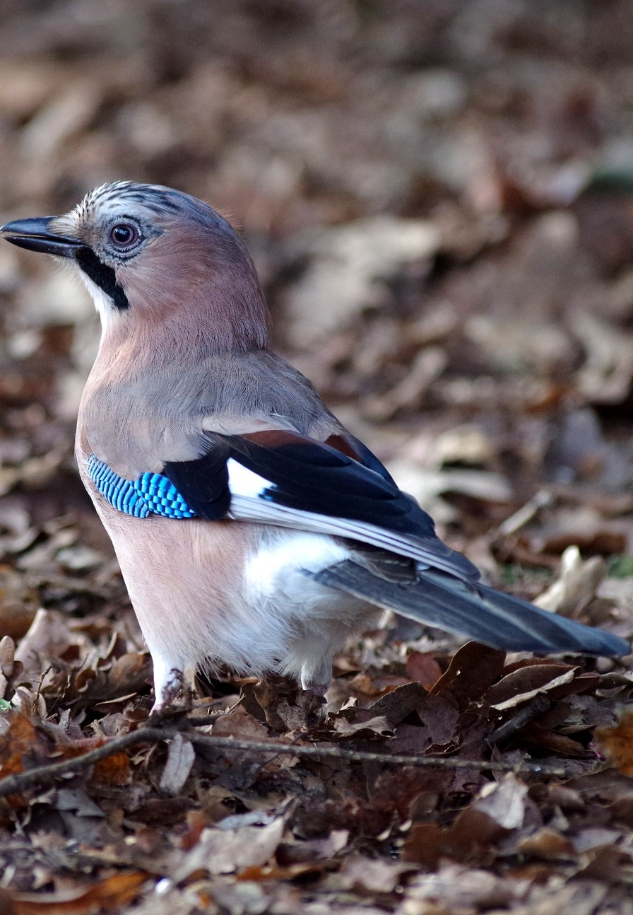 Picture of a jay in the forest.