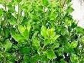 tanaman yg mempunyai tempat ideal pada ketinggian  Daun Beluntas Ternyata Setidaknya Memiliki 10 Manfaat Pengobatan. Mulai Dari Obat Masalah Bau Badan Hingga TBC