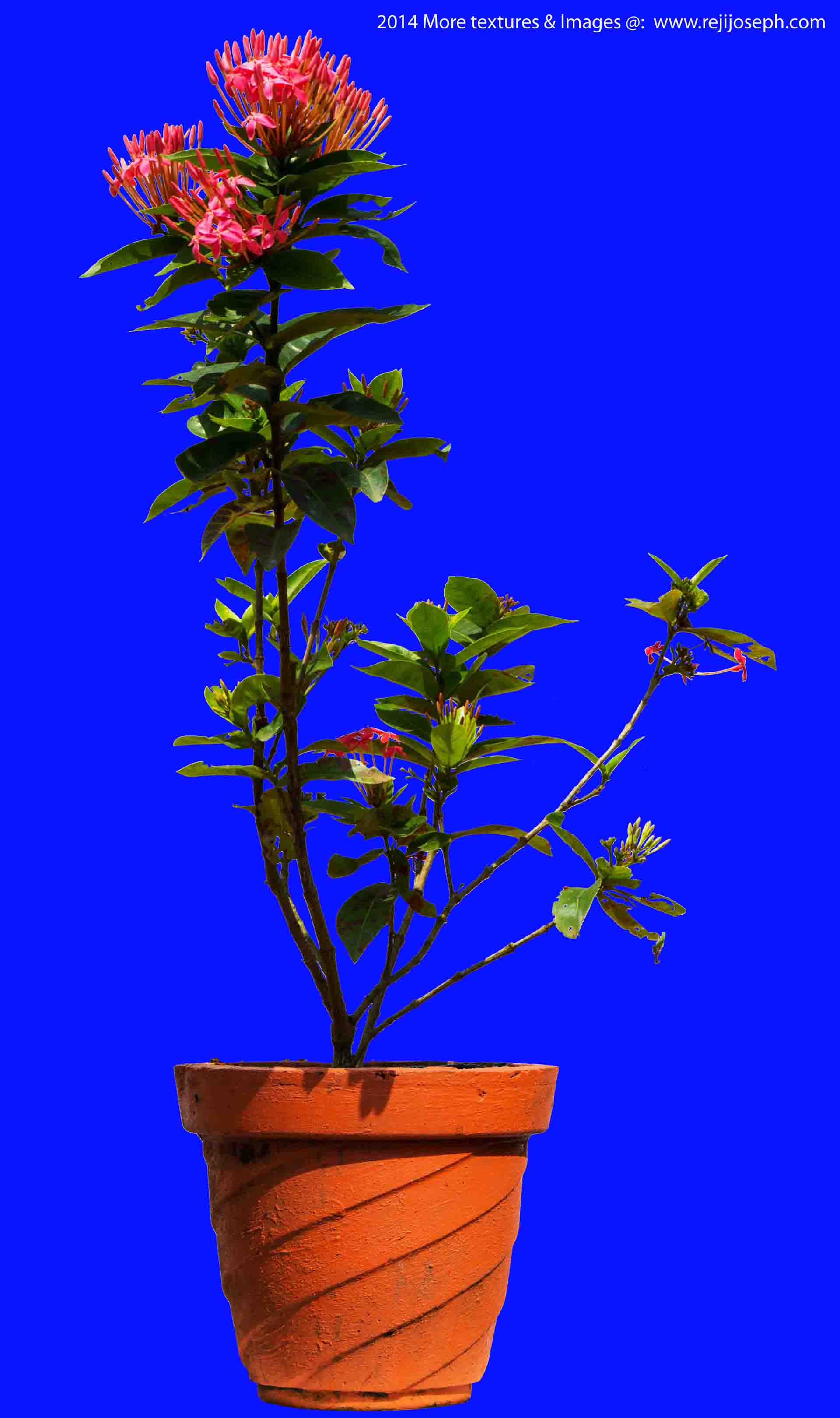Ixora Coccinea Garden plants texture 00005