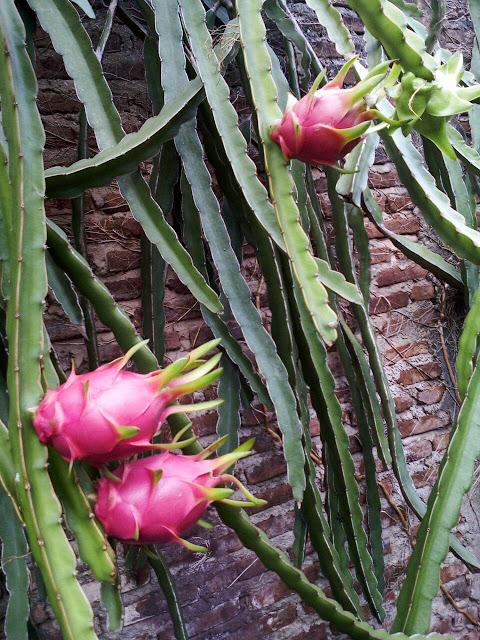 Pohon buah naga berbuah lebat