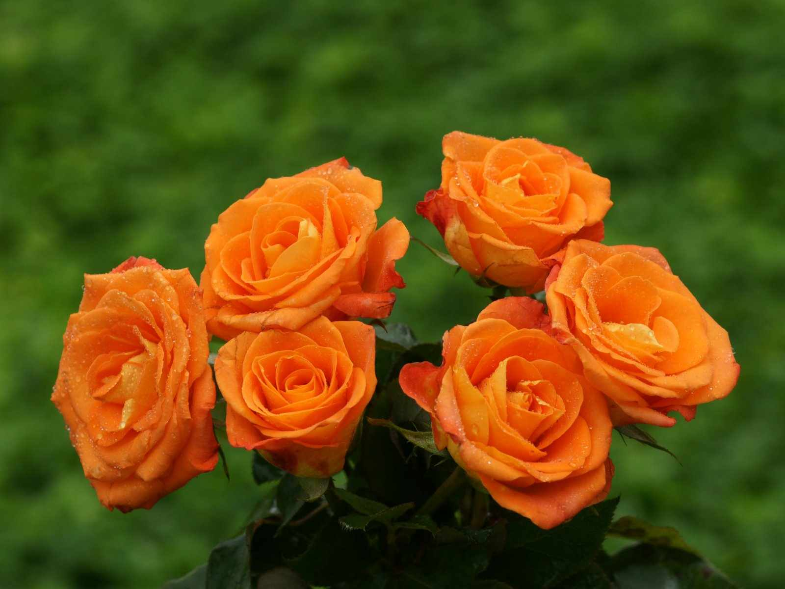 Flower Photos: Orange Roses Only