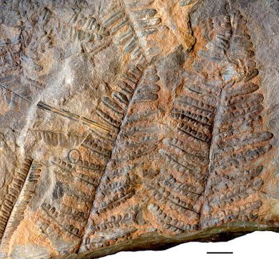 Impresión   de  pinnas de un Helecho   Pecopteris camertonensis