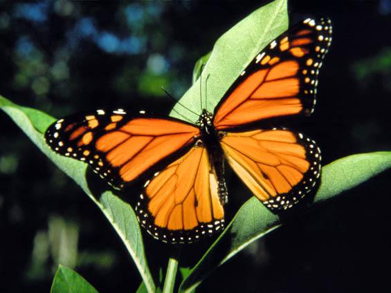 the garden: Monarch Butterflies