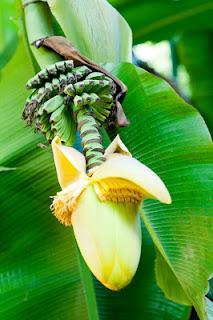 banana blossom still up on a tree
