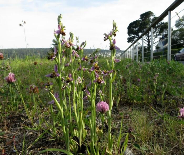 Ophrys abeilles à Morgat près de Crozon