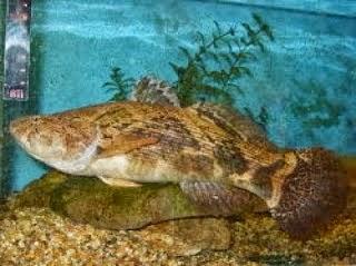 Gambar Ikan Betutu / Kembo | Info Tips Mancing Ikan Betutu / Kembo