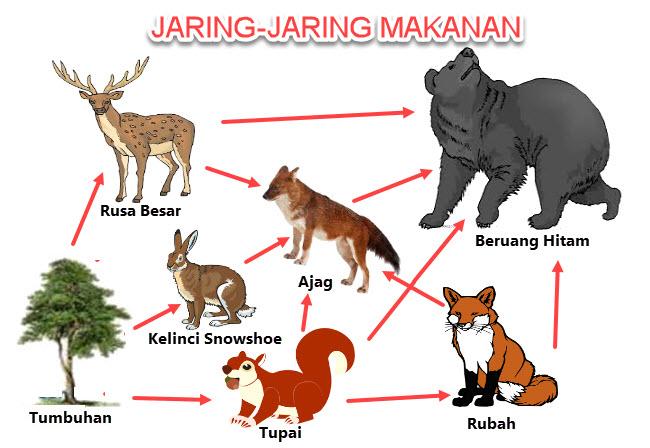 Jaring-Jaring Makanan Di Ekosistem Taiga
