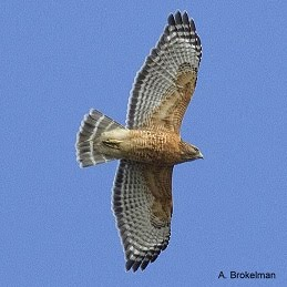 Red-shouldered Hawk (adult)