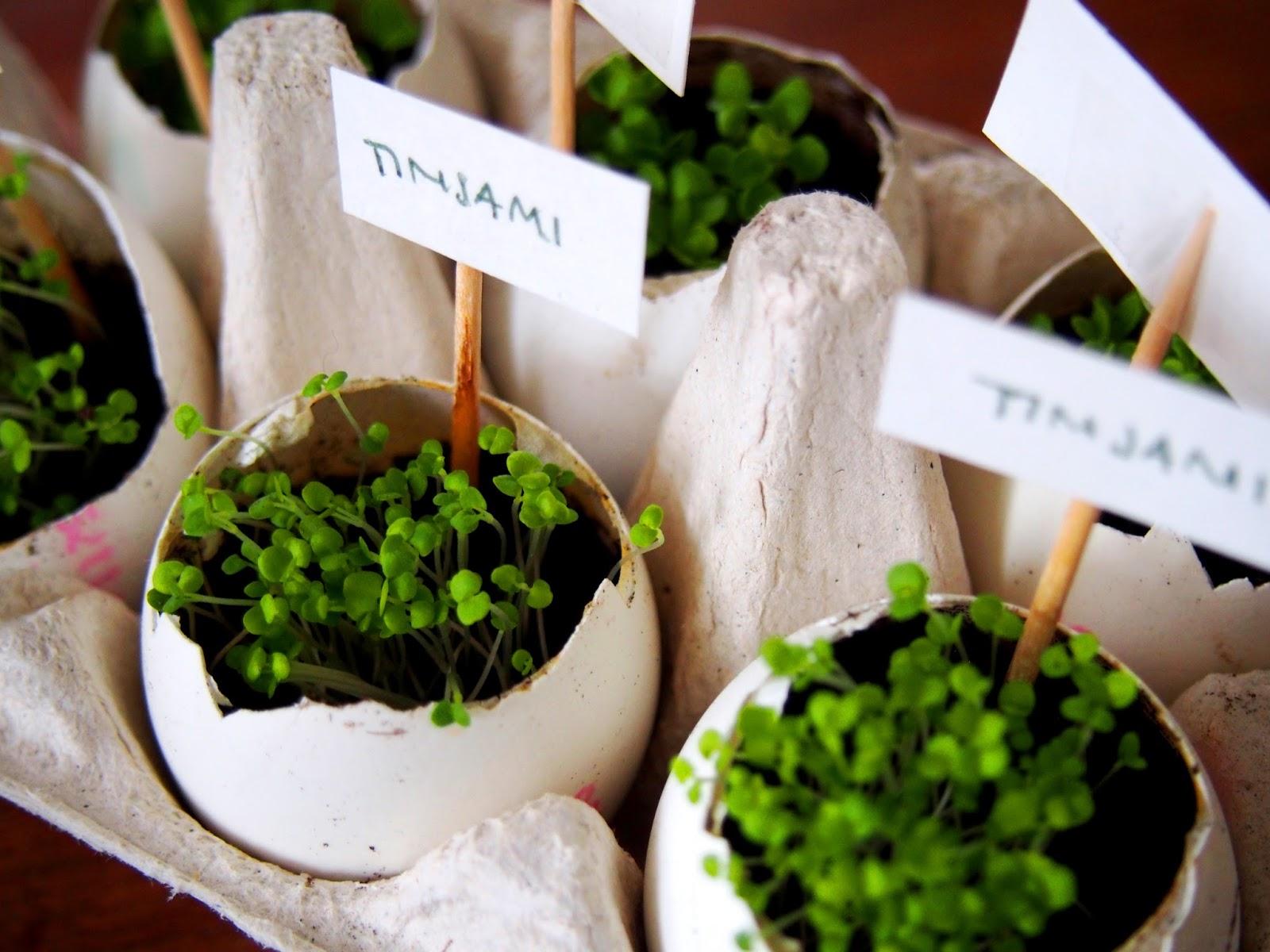 eggshell, garden, puutarha, istutus, muna, kuori, kananmuna, egg, shell, plant, kasvi, plantaasi, plantagen