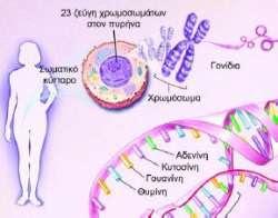 Η δομή και η λειτουργία του νευρικού συστήματος καθορίζονται από τα γονίδια και την επίδραση του περιβάλλοντος κατά τη διάρκεια της ζωής μας