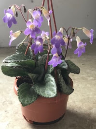 Best Flowering Asian Violet