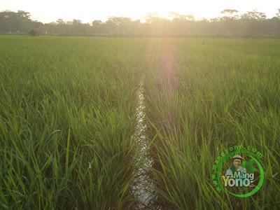 FOTO  3 :  Tanaman Padi NAZWA Umur 51 HST di Sawah Rawa Sudah Keluar Bunga  80 HST Panen