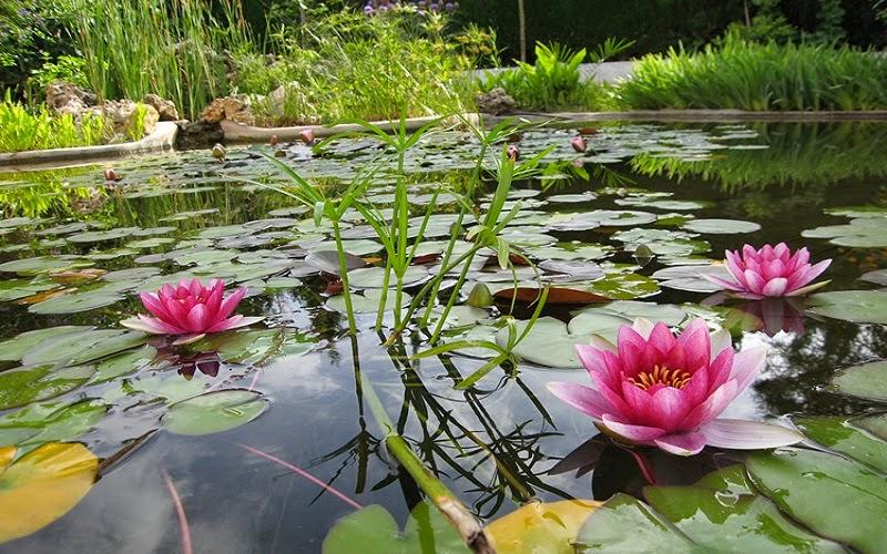 El término nenúfar se aplica, en general, a plantas acuáticas con flores que crecen en lagos, lagunas, charcas, pantanos o arroyos de corriente lenta, estando usualmente enraizadas en el fondo.