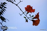 ノーザンカズラの花の写真