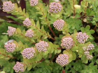 Orpin bleu - Orpin courbé - Hylotelephium anacampseros - Sedum anacampseros