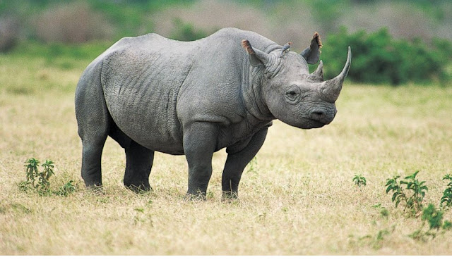 Black Rhino is endangered specie
