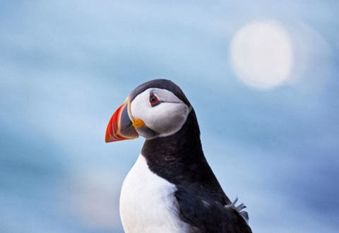Puffin on Orkney, Scotland