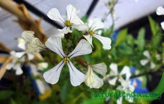 flores de rucula