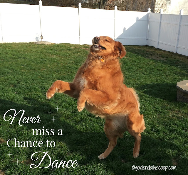 never-miss-a-chance-to-dance-golden-retriever