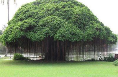 [ajab gajab, facts ] - अजब-गजब विचित्र वृक्ष