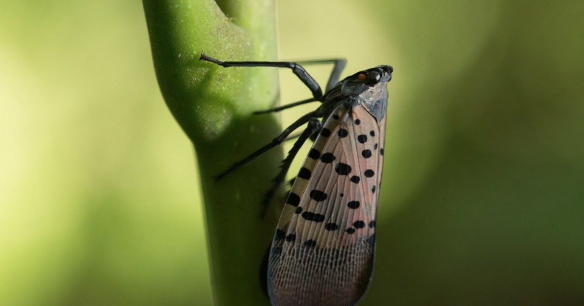 Pa Environment Digest Blog Spotted Lanternfly Headlines