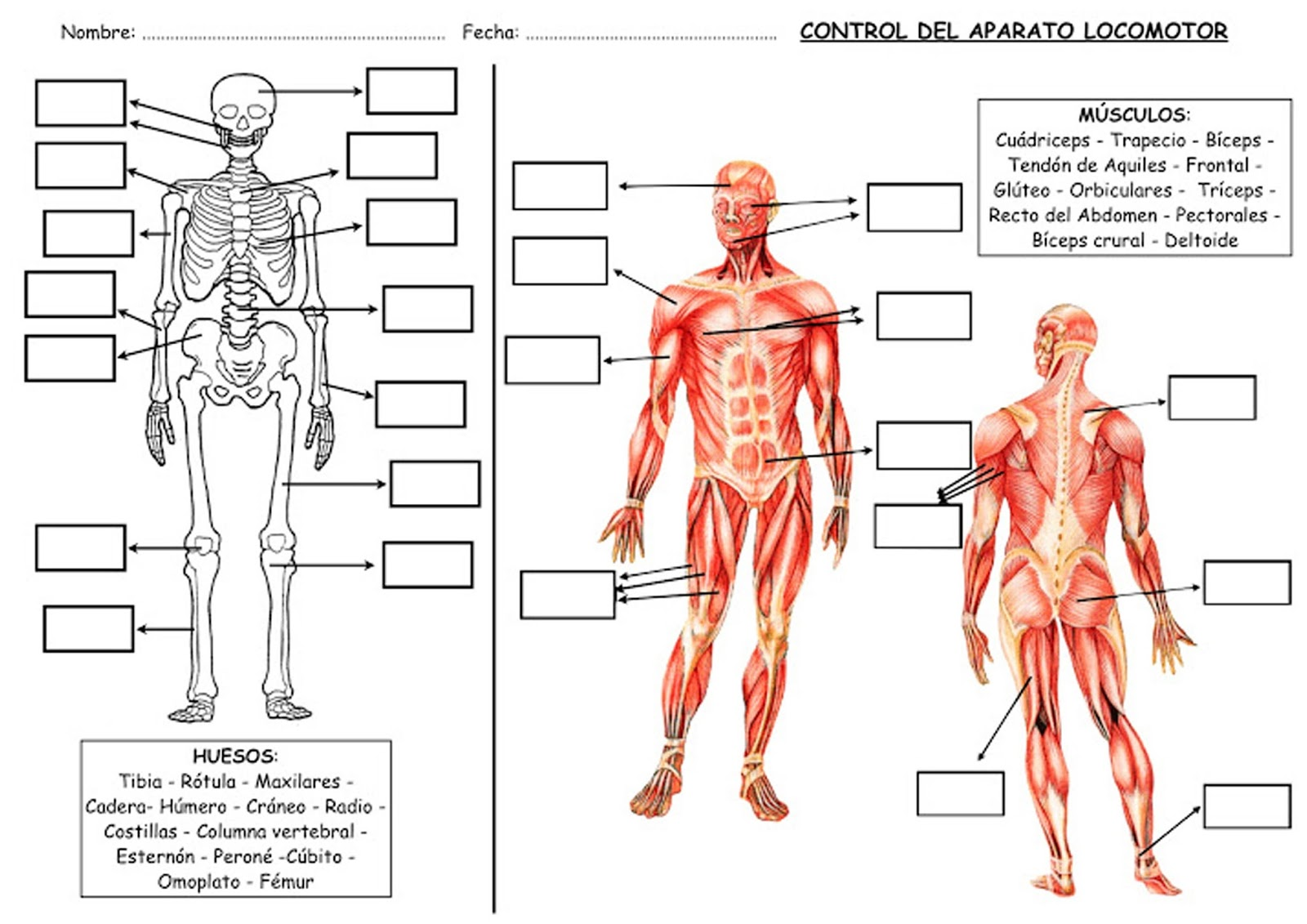 Contenidos educación física: FICHAS PARA ESTUDIAR EL APARATO LOCOMOTOR