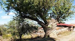 Burgulu Armut Ağacı Görenleri Şaşırtıyor