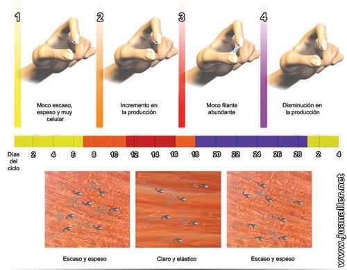 Retraso menstrual y flujo transparente elastico