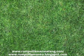 Harga jual rumput jepang www.rumputtamanku.blogspot.com