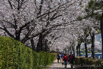 釜山鎮海慶和站櫻花