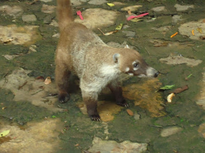 A badger at La Tzararacua Waterfalls