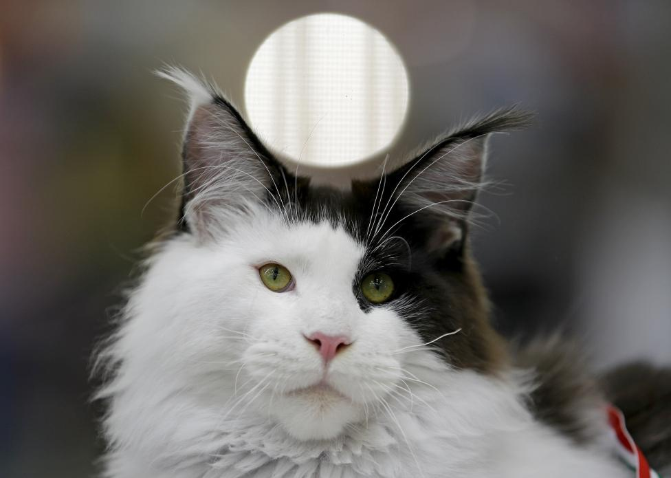 Ciao Kitties Pictures Gallery - Mediterranean Cat show