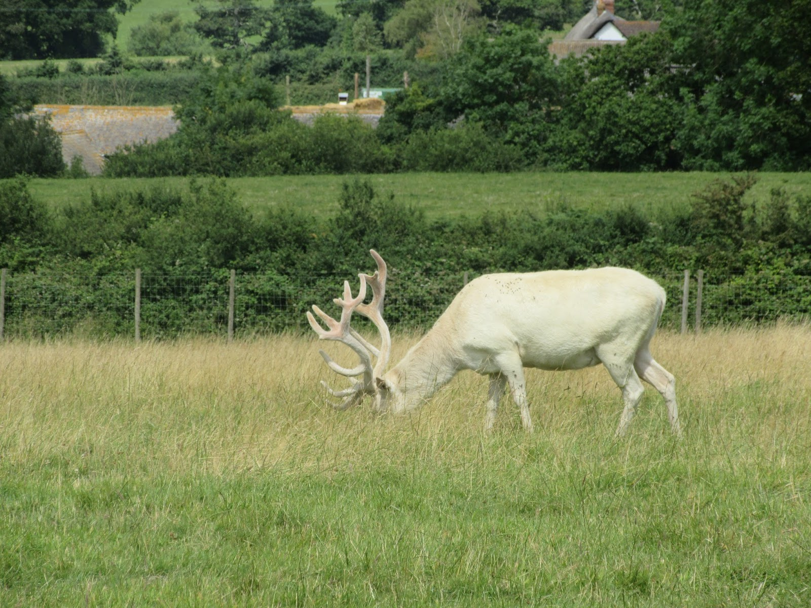 White stag in a field