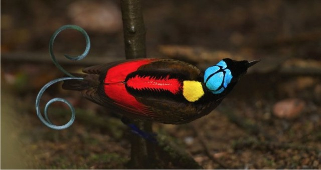 480 Gambar Burung Cendrawasih Yg Indah HD Terbaik