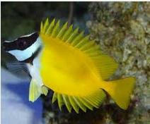 Ikan Hias Air Laut Foxface fish
