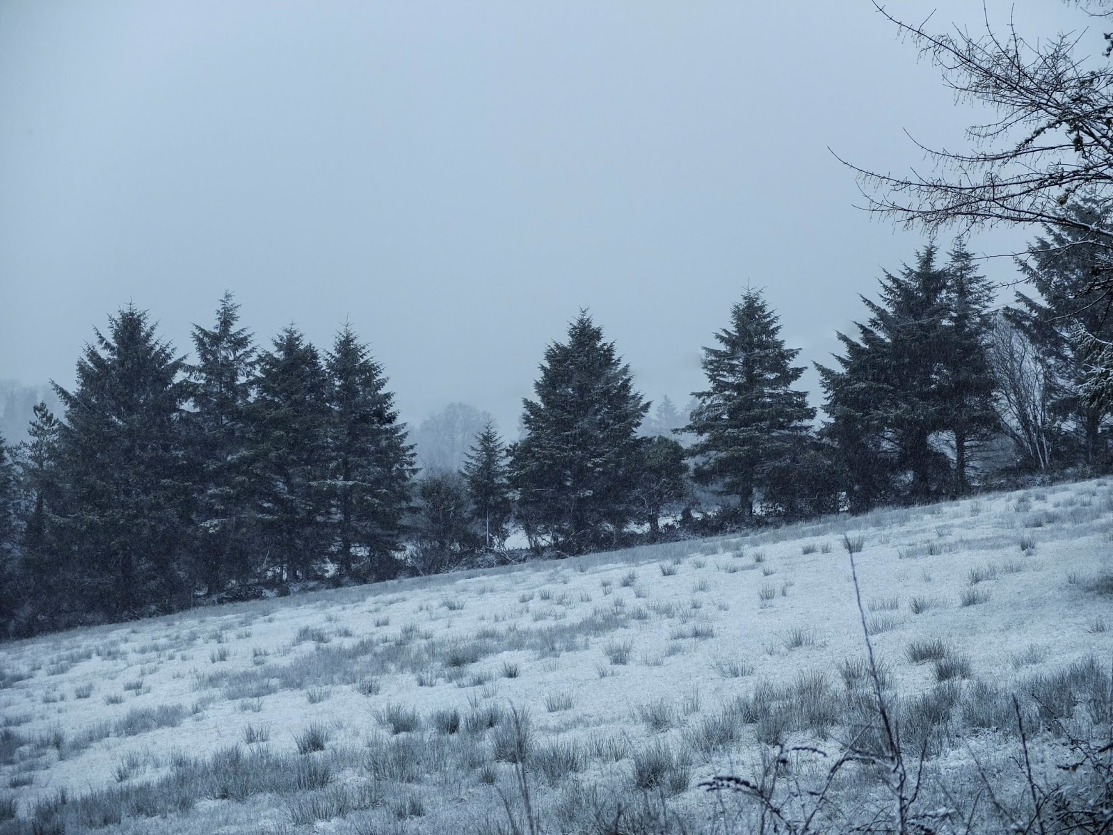 A line of conifers on a hillside in the snow captured in North County Cork.