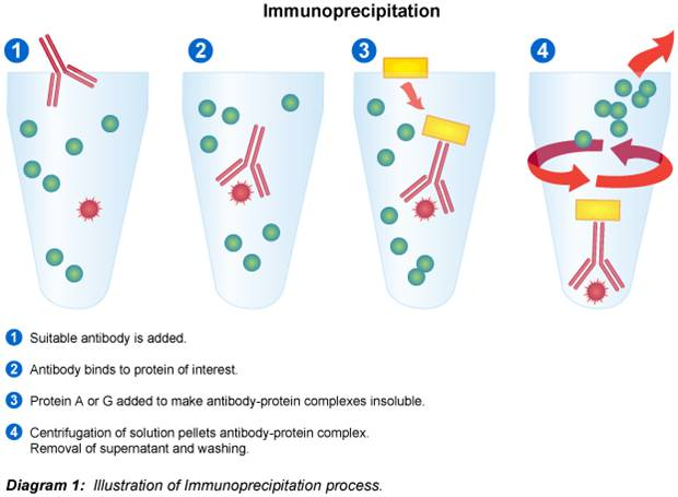 Immunoprecipitation IP Procedure